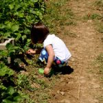 Where to Wednesday: Strawberry Picking