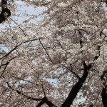 Spring Family Travel Idea: Visiting Cherry Blossoms in Washington, DC