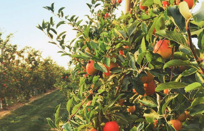Best Places for Apple Picking In NY, NJ and CT